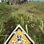mais OGM 2012