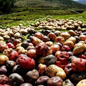 Een spoedcursus ggo-aardappelkunde