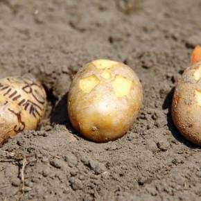 24.09.2013 - verdict GMO potato trial expected